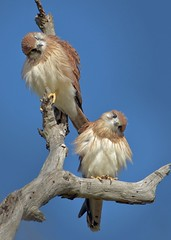 Nankeen Kestrel,  taking it all in.