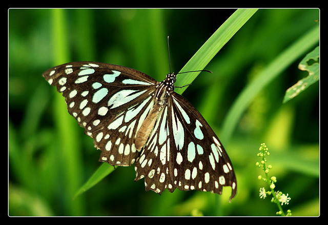 Blue Tiger (Indian Butterfly)