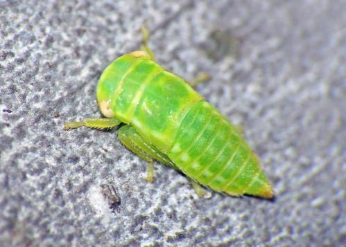 Leafhopper - Iassus lanio (nymph)