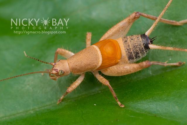 Cricket (Gryllidae) - DSC_7325