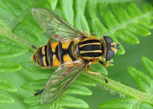 Hoverfly - Helophilus pendulus
