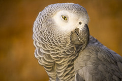 cockatoo(0.0), falcon(0.0), parakeet(0.0), animal(1.0), parrot(1.0), wing(1.0), fauna(1.0), close-up(1.0), beak(1.0), african grey(1.0), bird(1.0), wildlife(1.0),