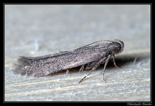 Monochroa servella