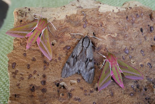 Pine Hawk-moth (Hyloicus pinastri) with Elephant Hawk-moths (Deilephila elpenor)