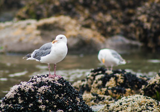 Western Gulls in Tidal Pools