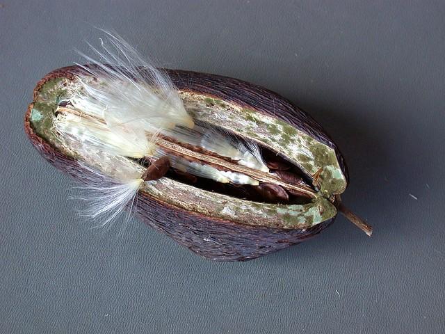 Stephanotis seed capsule