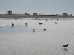 Wildwood Sea Gulls