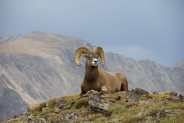 Bighorn Ram-Week 35