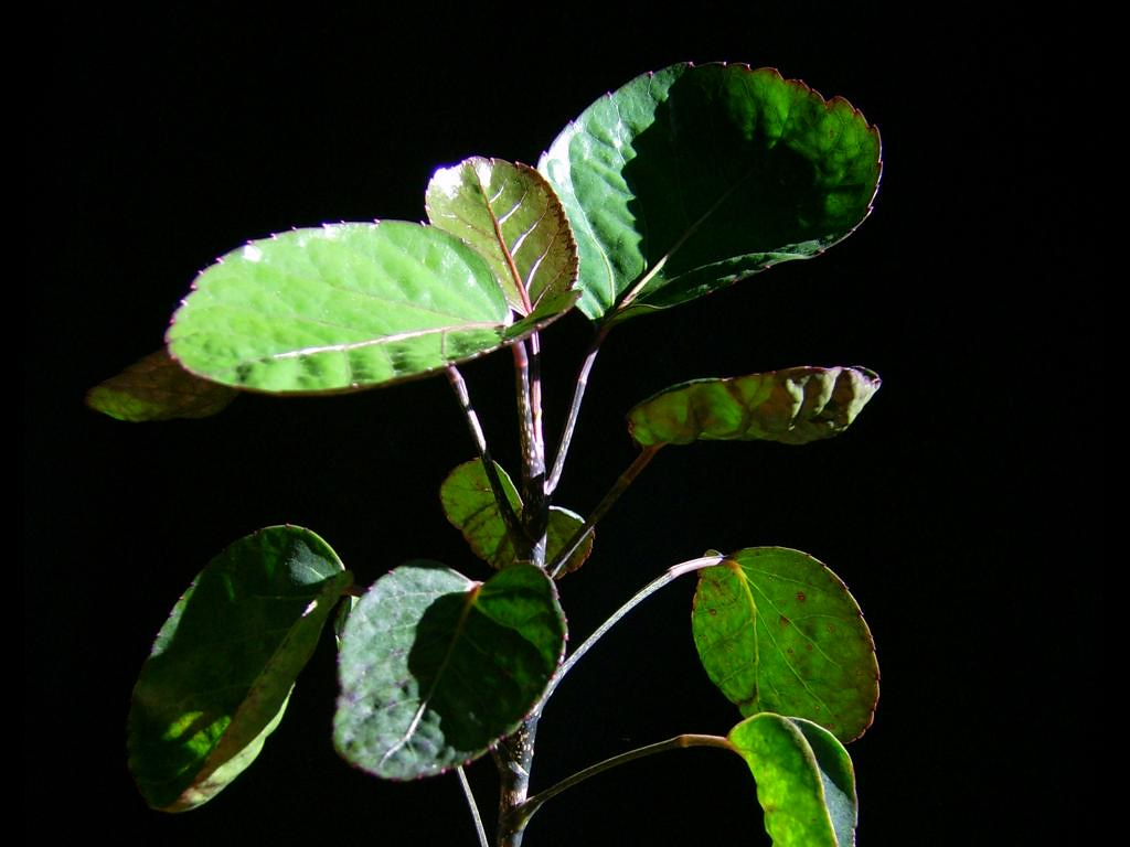 & Dinner Plate Aralia (Polyscias balfouriana) · iNaturalist.ca