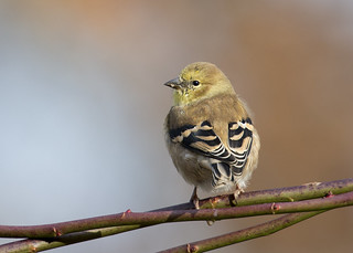 where are my goldfinches?