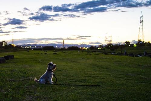 autumn sunset dog bicycle silhouette japan tokyo october olympus 秋 夕暮れ 多摩川 fuchu miniatureschnauzer tamagawa 河川敷 2013 em5 lumixg20f17 pa160014 ミニチュアシュナウザー