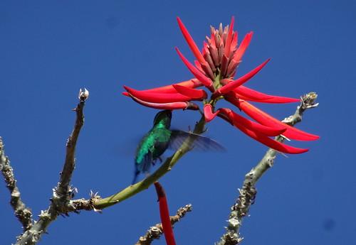 Beija-flor Hummingbird