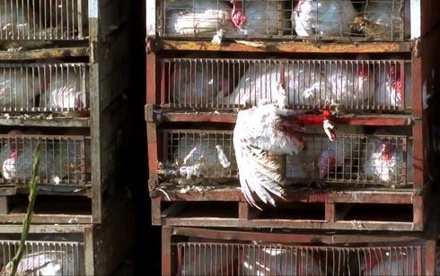 זוגלובק - כנף תרנגולת תקועה מחוץ לסורגים