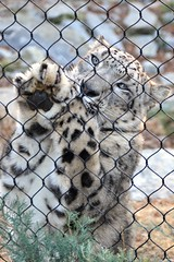Pleeeease Save the Snow Leopard