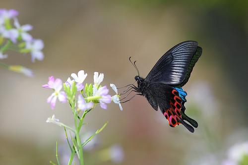 訪花的蝴蝶只要預先用等待的方式,就很機會拍到非常漂亮的影像。