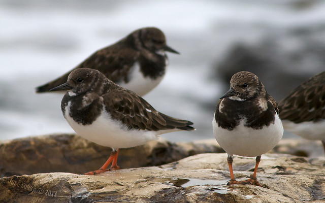 Rola do Mar - Arenaria interpres - Turnstone