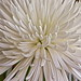 White Chrysantema 2