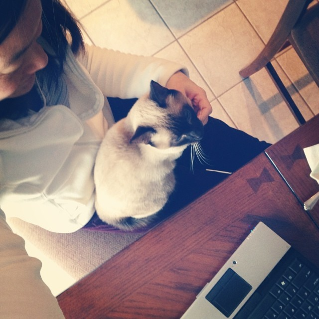 Louie on My Lap this Morning, helping Me Work #siamese #louiethelooster #cat