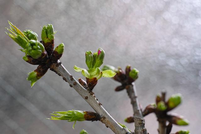 Bud of cherryblossom
