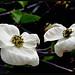 Blumen-Hartriegel, Cornus nuttellii by Mejxu