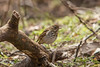 Grive solitaire / Wood Thrush_1405