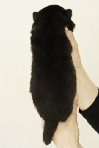 Ayui-Litter4-Day20-Puppy2-Female-b