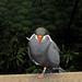 Small photo of Inca Tern