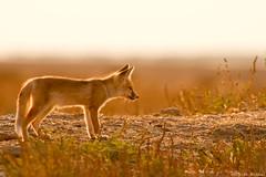 Desert Fox Pup.
