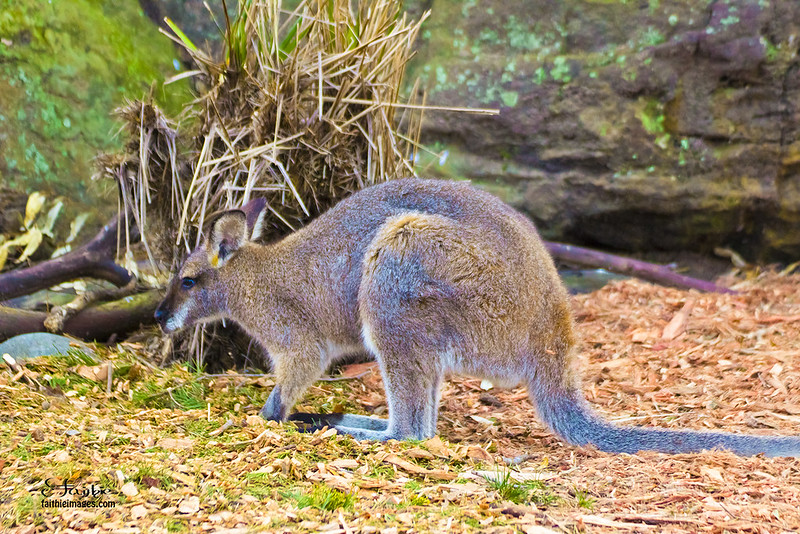 A small wallaby