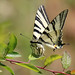 Scarce Swallowtail (Jim Higham)