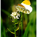Orange Tip Butterfly.