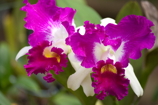 Pink White Cattleya Orchid