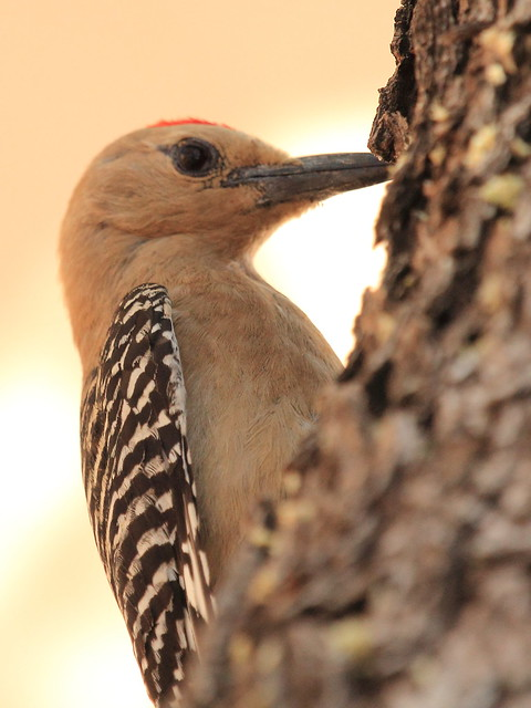 Gila Woodpecker 20130614 - Copy