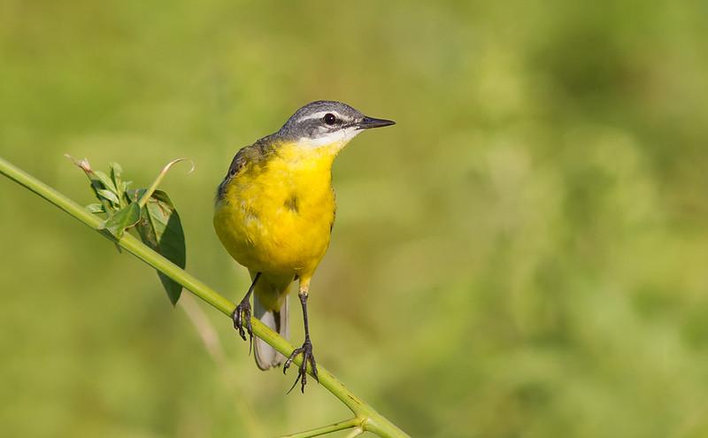 Yellow Wagtail - Motacilla flava flava ?