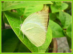 Catopsilia pyranthe (Mottled Emigrant), a very light yellow butterfly, shot June 23, 2013