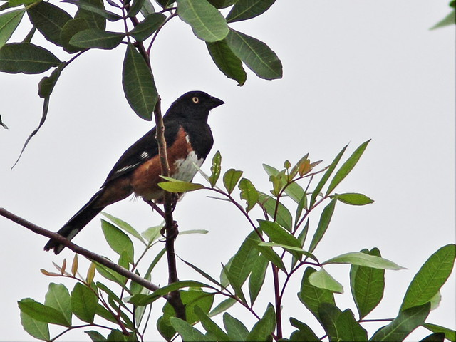 Eastern (yellow-eyed) Towhee male 2-20130721