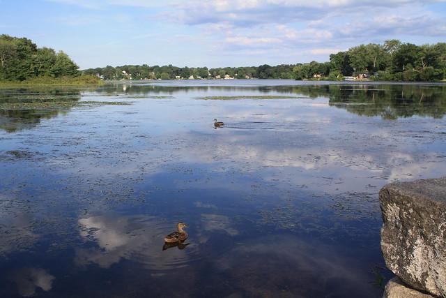 Pond Duck