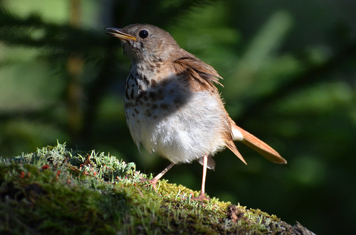 sunlight bird nature forest moss novascotia emergence hermit hermitthrush catharusguttatus 2013 peterbrannon