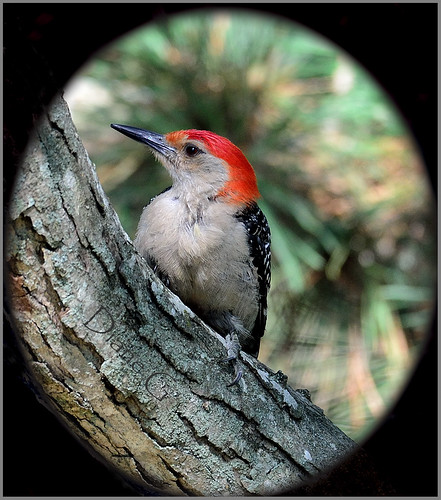 Red-bellied Woodpecker   19