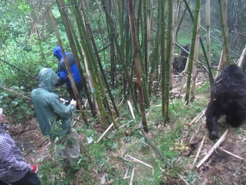 Travelling With Mountain Gorillas