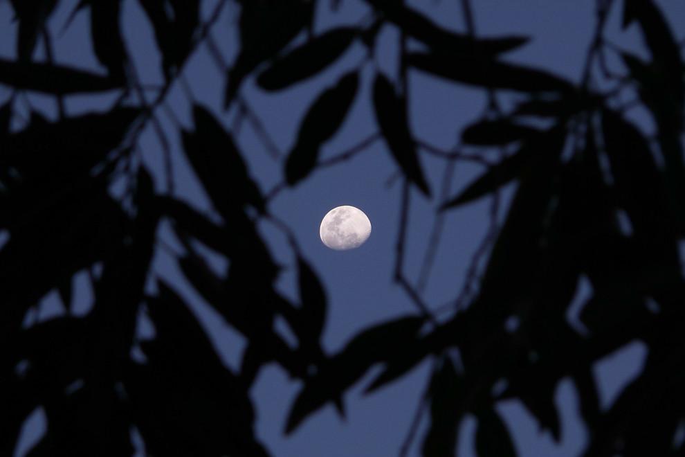La luna se divisa entre las hojas en una plantación de frutillas en Areguá, minutos después del atardecer.  (Tetsu Espósito).