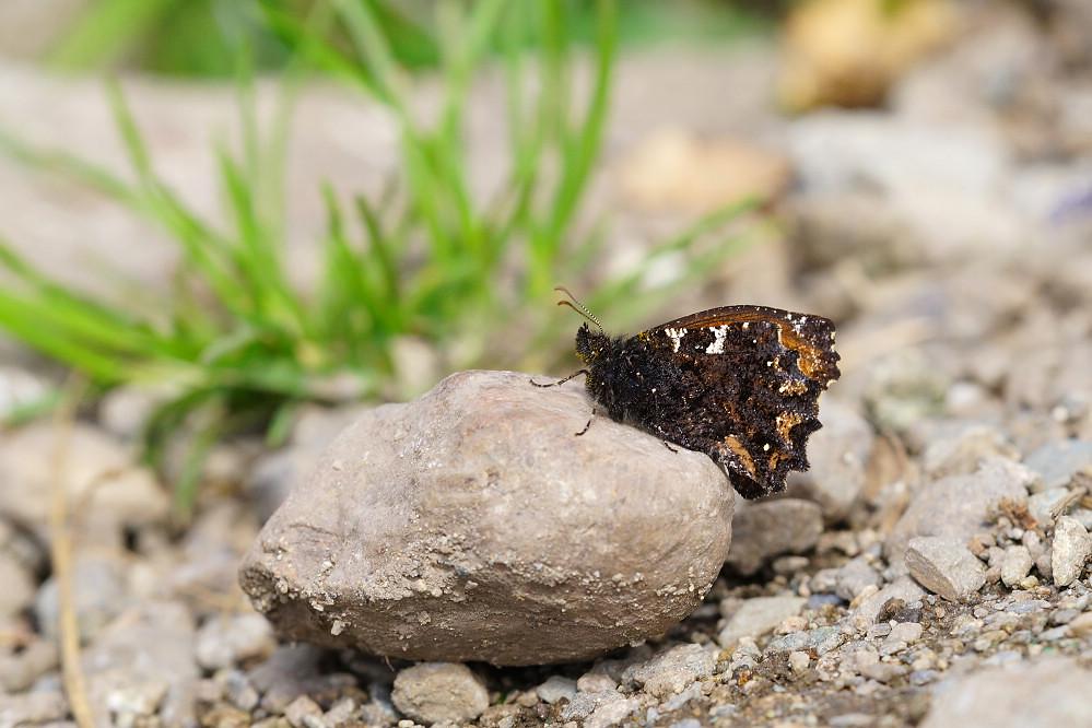 南美蛺蝶 -2