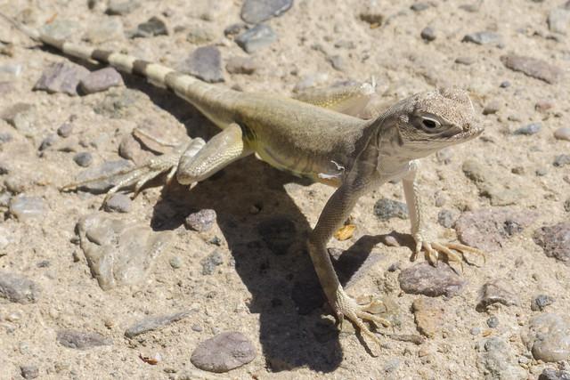 Lizard, Arizona-Sonora Desert Museum