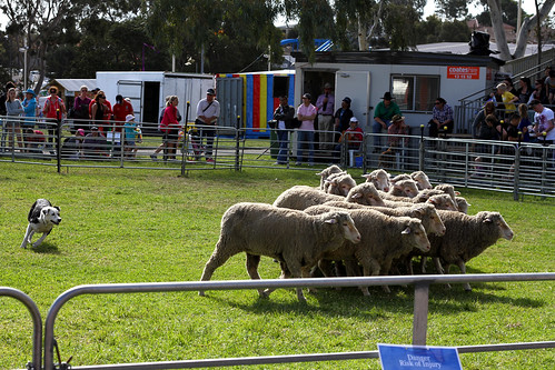 Perth Royal Show 2013 - Sheep-Herding