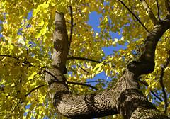 22. Oktober 2013 - 14:56 - Common names are American tulip tree, tulip poplar and yellow poplar.