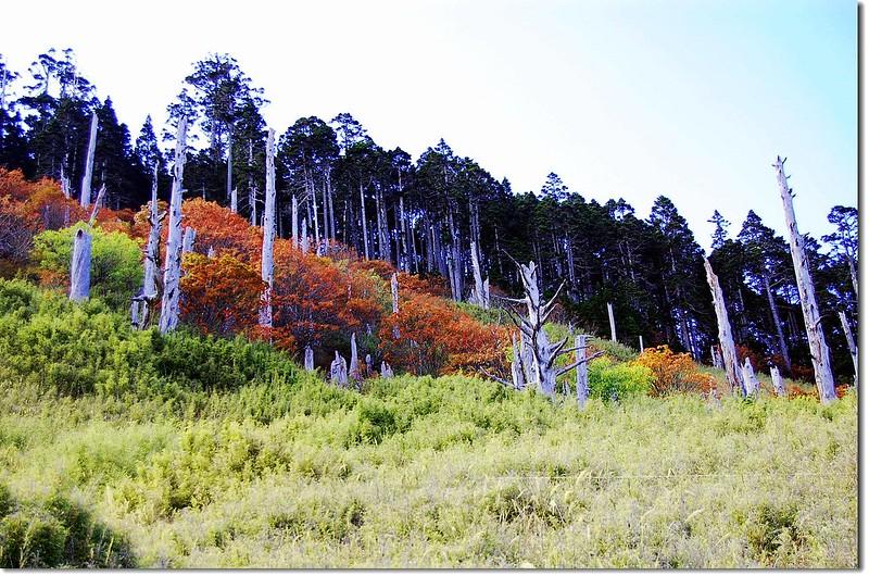 白木林與巒大山楸(From 369山莊) 16
