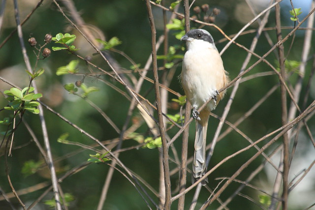 棕背伯劳Lanius schach, Rufous-backed Shrike。