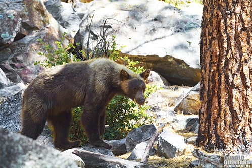 American Black Bear, Ursus Americanus, Cinnamon phase Kings Canyon National Park, California