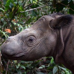 The Sumatran rhino is the most endangered of the 5 remaining rhino species. Sumatran rhinos exist only in protected areas where they are physically guarded by Rhino Protection Units (RPUs). #rhino #5rhinos5wishes