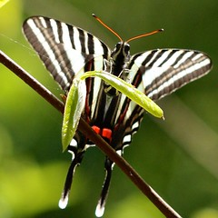Zebra Swallowtail (Eurytides marcellus) on Paw Paw